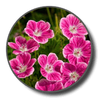 Geranium Flower Oil